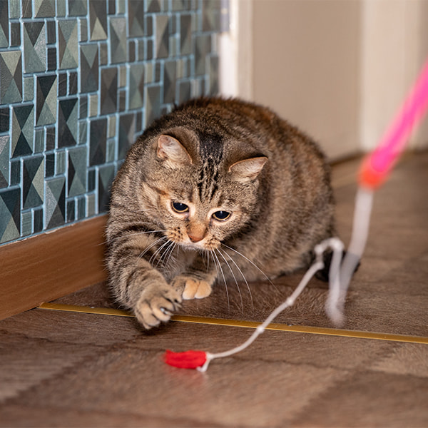 cat chasing a toy