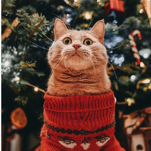 A cat in a Christmas sweater