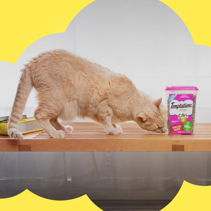 yellow can on table and sniffing a pink container of temptations treats